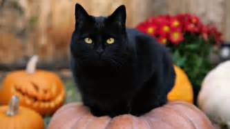 halloween black cats psa be kind to black cats this halloween mr and mrs