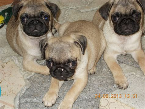 puppy pugs for sale beautiful pedigree fawn pug puppies for sale