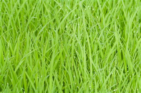 Green Grass by Green Grass With Water Droplets 183 Free Stock Photo