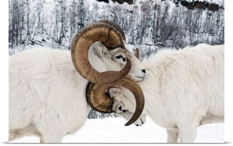 dall sheep books 26 best images about sheep on horns montana