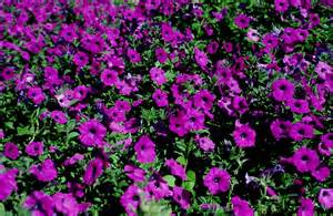 plantanswers plant answers gt laura bush petunia