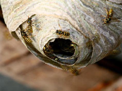 wespennest balkon wespennest entfernen tipps zum umgang mit wespen