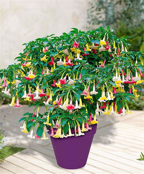 Buy Garden Plants by Buy A Container Plant Now Brugmansia Tricolor Bakker