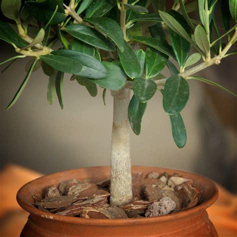 coltivare more in vaso come coltivare l ulivo in vaso tutto l anno come fare orto