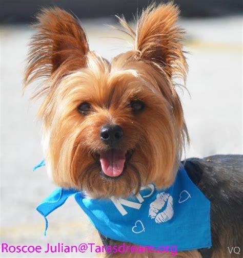 yorkie rescue ta roscoe julian s web page