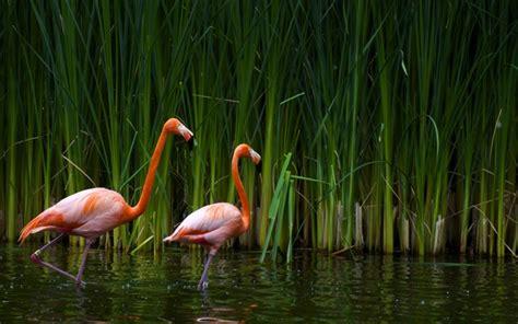 flamingos mac wallpaper interfacelift wallpaper flamingos