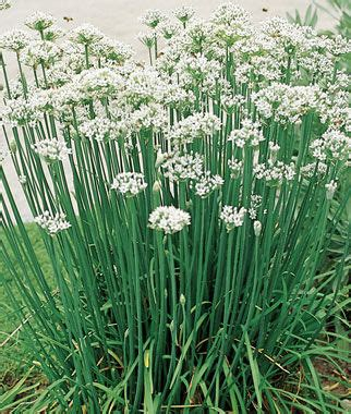 garlic chives seeds  plants growing herb gardens