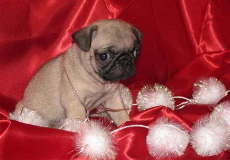 pug puppies in ohio lovely pug puppies for home northeast ohio dogs for sale puppies for sale
