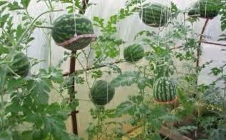 Watermelon Trellis Como Plantar Melancia E Mini Melancia Em Terra E Em Vaso