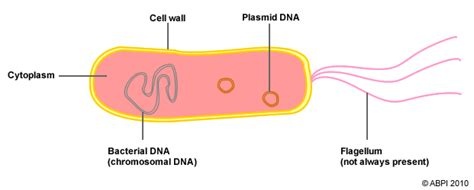 diagram bacterial cell animal pmg biology