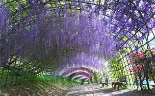 wisteria in japan take a walk through japan s magical wisteria tunnels