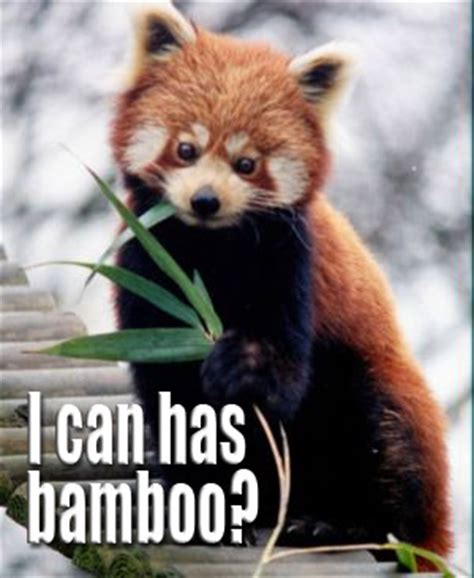 Red Panda Meme - lol red panda by resresres on deviantart