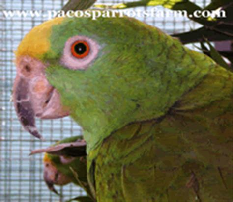 amazzone testa gialla paco s parrots farm amazona ochrocephala panamensis