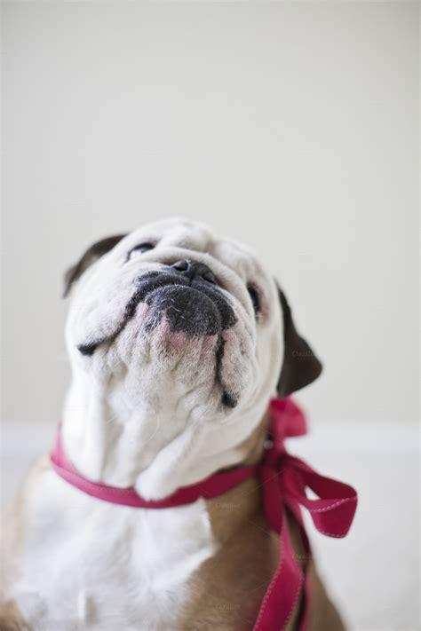valentines day bulldog bulldog in a bow animal photos on creative market