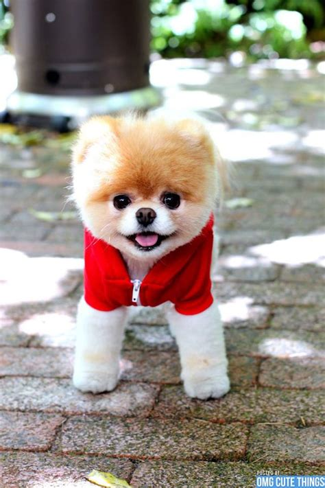 the pomeranian boo boo the pomeranian as a