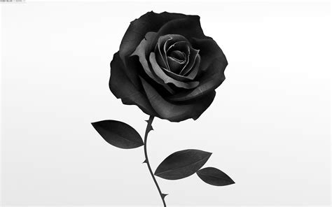 fine hdq black rose images fine 4k ultra hd wallpapers