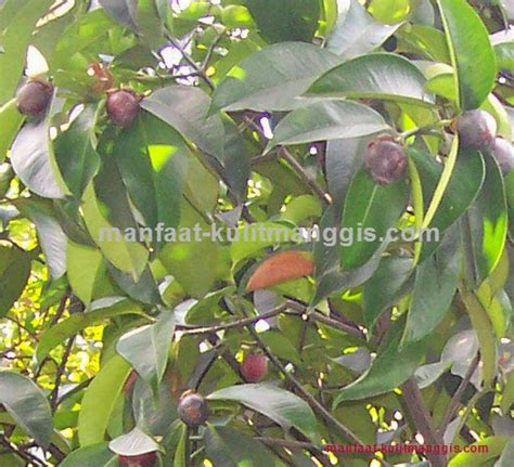 Teh Herbal Kulit Manggis Dan Daun Sirsak khasiat kulit manggis dan daun sirsak