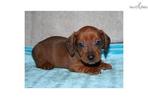 dachshund puppies nc dachshund puppy for sale near jacksonville carolina c1e6bba5 19c1