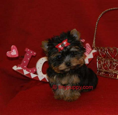 lil yorkies for sale photo gallery of tinypuppy teacup yorkie puppies tinypuppy