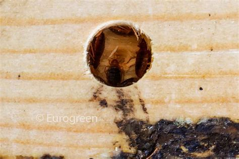 le cimici dei letti cimici da letto archivi eurogreen