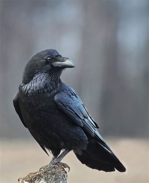 17 best images about crows ravens on pinterest the