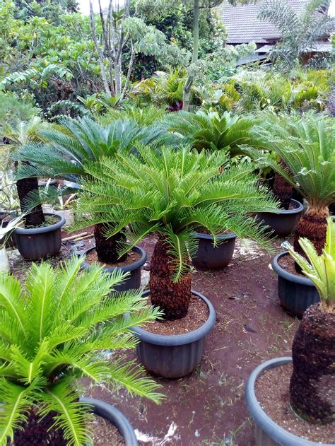 Tanaman Sikas jual jual tanaman hias sikas anekataman
