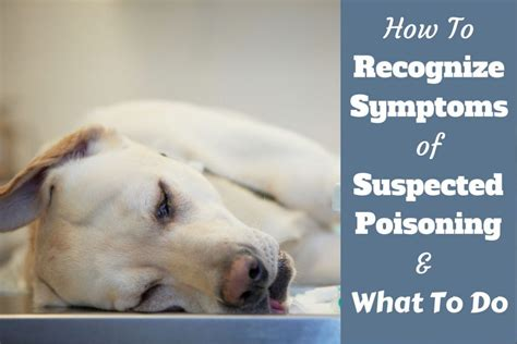 how to a dogs symptoms of poisoning and what to do if you suspect it