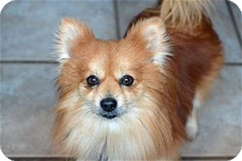 pomeranian for adoption in va staunton va pomeranian mix meet a for adoption