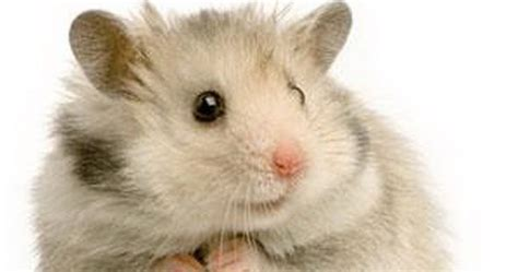 dunia hamster jenis jenis hamster
