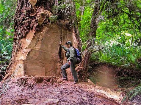 Kayu Bonsai Size M coast redwood burl poaching charged for illegal
