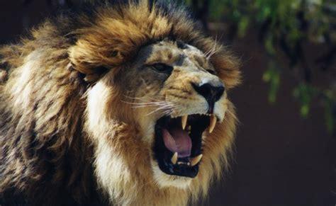imagenes leones rugiendo fotos geniales las mejores im 225 genes de leones