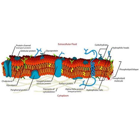 description  function   cell membrane study guide