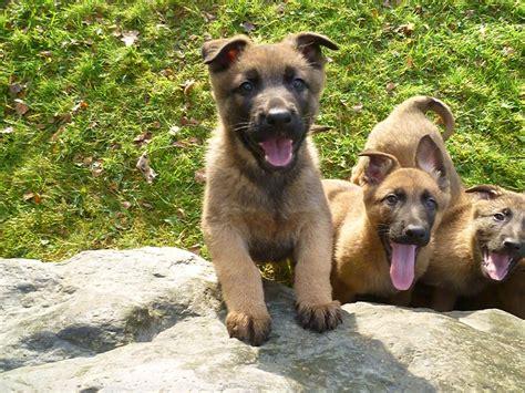 belgian malinois german shepherd mix puppies for sale german shepherd x belgian malinois corwen denbighshire pets4homes