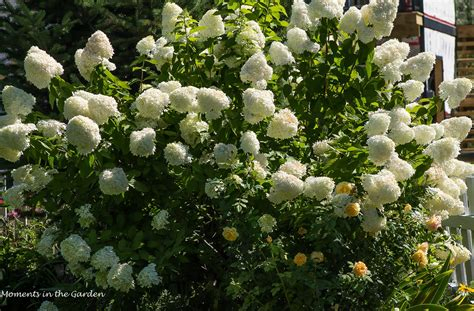 hydrangea paniculata limelight moments in the garden photography
