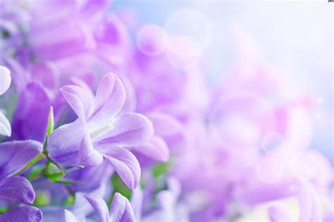 viola fiori fiori viola
