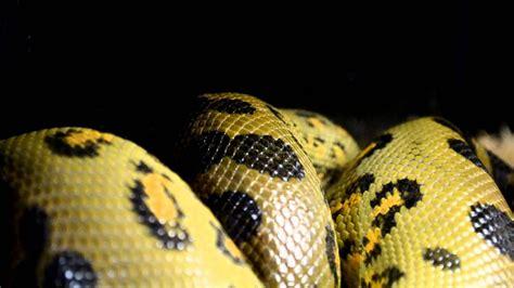 imagenes anacondas reales galer 237 a de im 225 genes anaconda verde