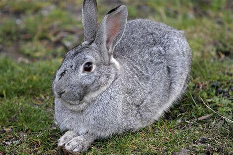 Grey Rabbits grey bunny flickr photo
