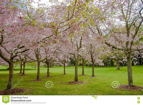 flowering cherry tree grove in auckland s cornwall park stock image image 74114791