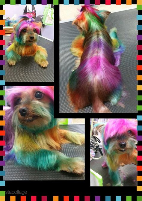 yorkie hair color 17 best ideas about hair dye on poodles poodle cuts and pink poodle