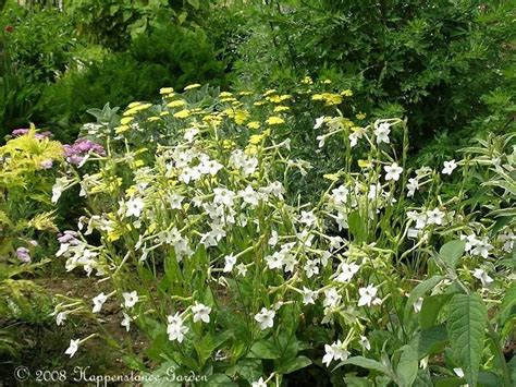 plantfiles pictures flowering tobacco jasmine tobacco