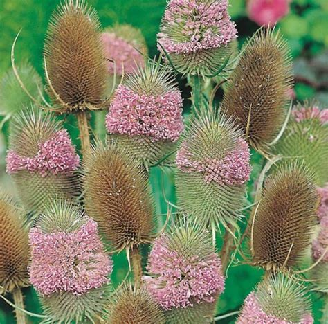 Benih Biji Bunga Dandelion Cocok Untuk Ditanam 1 benih teasel 15 biji non retail bibitbunga