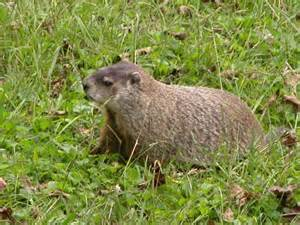 this large groundhog a k a woodchuck marmota monax