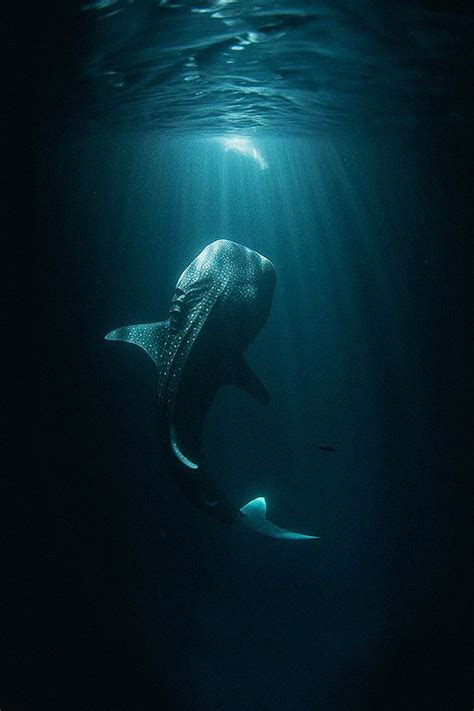 17 best ideas about whale shark on