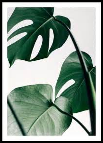 Colorful Tropical Plants - monstera three poster in the group posters amp prints sizes 50x70cm 19 7x27 6 at desenio ab