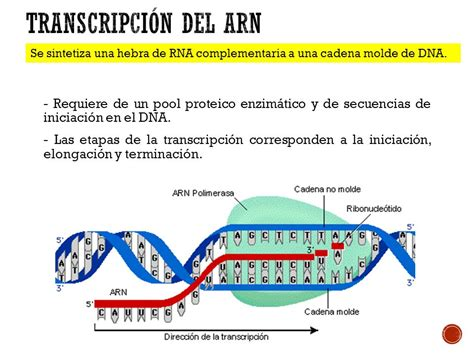 cadena molde de adn transcripcion transcripci 243 n y traducci 243 n de prote 237 nas ppt video online