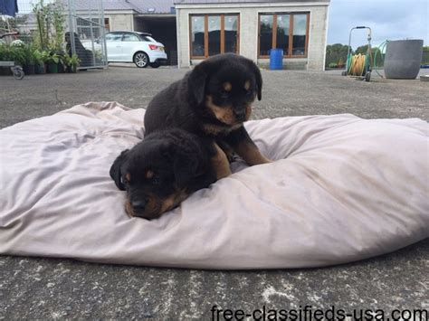 rottweiler rescue in pa rottweiler puppies for adoption animals marianna