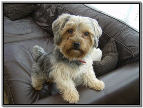 yorkie shih tzu haircuts 17 best images about shorkie yorkie shih tzu on yorkie poodle mix and