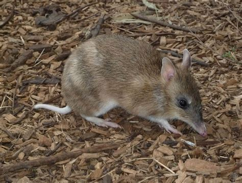 animal pictures bandicoot animals amazing facts pictures all