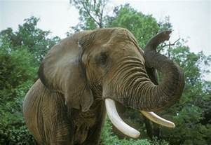 animal zoo elephant facts about elephants indian