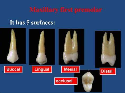 Maxillary Premolar Maxillary Premolars